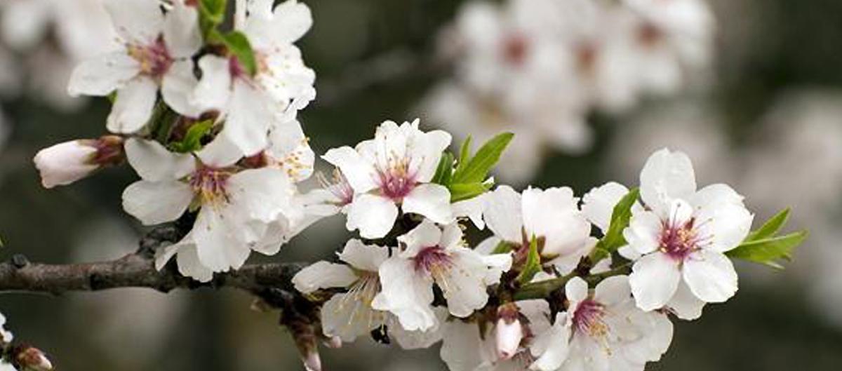 fleur-de-cerisier large